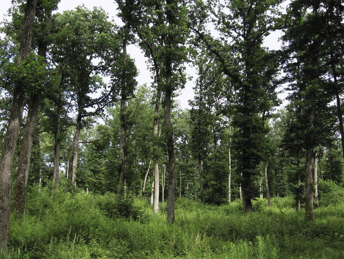 Mittelwald: Jahrhundertelang war Holz eine äusserst knappe Ressource, und die Gewinnung von Brennholz und höherwertigem Bauholz standen in Konkurrenz zueinander. Die seit dem Hochmittelalter überall in Europa verbreitete Wirtschaftsform des Mittelwaldes kombiniert beides: In einer oberen Schicht wuchsen grosse Buchen, Eichen und Fichten über lange Zeiträume heran; das Unterholz hingegen wurde alle zwanzig bis dreissig Jahre geschlagen – und wuchs aus den Wurzelstöcken schnell wieder nach. Zudem diente der Mittelwald auch als Waldweide für Rinder, Ziegen und Schweine. Der Mittelwald war die typische Wirtschaftsform der bäuerlichen Selbstversorgung. Im 19. und 20. Jahrhundert wurden stattdessen Forste angelegt, die eine Maximierung des Holzertrags anstrebten. Wo heute noch Mittelwaldreste bestehen, werden diese wegen ihrer hohen Biodiversität oft verstärkt gepflegt.